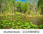 swamp and grass of everglades... | Shutterstock . vector #1114484852