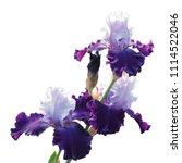 iris varieties of the great...   Shutterstock . vector #1114522046