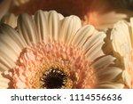light yellow  beige gerbera... | Shutterstock . vector #1114556636