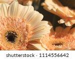 light yellow  beige gerbera... | Shutterstock . vector #1114556642