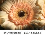 light yellow  beige gerbera... | Shutterstock . vector #1114556666
