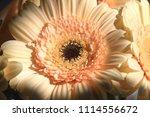 light yellow  beige gerbera... | Shutterstock . vector #1114556672