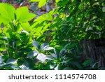 collection of juicy green...   Shutterstock . vector #1114574708