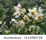Potato Bushes With Flowering...