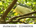 a black crown heron  nycticorax ... | Shutterstock . vector #1114660436