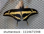 Black And Yellow Papilio...