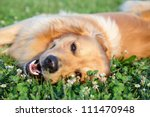 Stock photo portrait young dog playing in the meadow 111470948