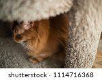 red somali cat looking out with ... | Shutterstock . vector #1114716368