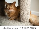 red somali cat looking out with ... | Shutterstock . vector #1114716395