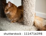red somali cat looking out with ... | Shutterstock . vector #1114716398