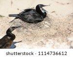 Cormorant In Mating Plumage...