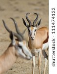 Two springbok rams with the focus on the animal in the back - stock photo