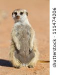 A cute meerkat sitting with its tummy in the sun - stock photo