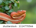 emerald tree boa   juvenile red ... | Shutterstock . vector #1114770566
