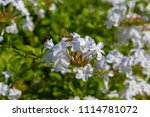 White Plumbago Auriculata...