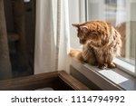somali cat sitting in a sunny ... | Shutterstock . vector #1114794992