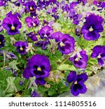 Small photo of These are Blue Blotch Pansy flowers (Viola x wittrockiana) produces large blooms for cool-season and short-day growing conditions.