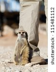A meerkat sitting against a human's leg - stock photo