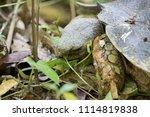 Portrait Asian Forest Tortoise...