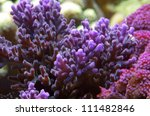 Small photo of Pink coral, violet coral stony coral Acroporidae