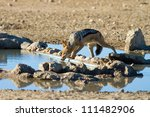 A black-backed jackal leaning over to drink from a waterhole in the kalahari desert - stock photo