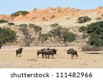 A small herd of blue wildebeest in the Nossob riverbed of the Kgalagadi Transfrontier Park - stock photo
