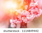 flowering cherry against the... | Shutterstock . vector #1114849442