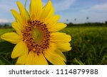 yellow color sunflower at the... | Shutterstock . vector #1114879988