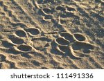 A set of fresh lion tracks in the road - stock photo