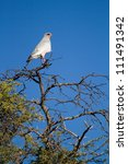 A pale chanting goshawk sitting on top of a thorn tree - stock photo
