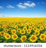 sunflowers field on sky... | Shutterstock . vector #1114916336