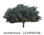 Huge Olive Tree With Wide...