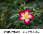 single pink and white climbing... | Shutterstock . vector #1114966652