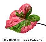 Caladium Bicolor Leaf Or Queen...