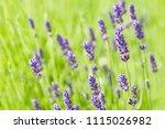 lavender flower head close up.... | Shutterstock . vector #1115026982