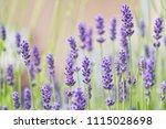 lavender flower head close up. | Shutterstock . vector #1115028698