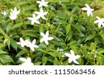 white flowers and  green...   Shutterstock . vector #1115063456