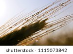 rain drop on ear of barley at... | Shutterstock . vector #1115073842