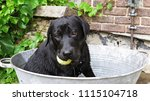a black labrador dog sitting in ... | Shutterstock . vector #1115104718