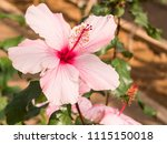 hibiscus which bloomed in ie... | Shutterstock . vector #1115150018