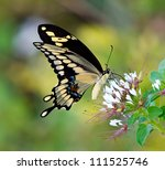 Giant Swallowtail Butterfly ...