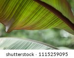 tropical jungle leaves of a... | Shutterstock . vector #1115259095