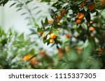 ripe fruits hang on a tangerine ... | Shutterstock . vector #1115337305