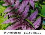 pretty purple fern  see large...   Shutterstock . vector #1115348132