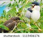 black crowned night heron ... | Shutterstock . vector #1115406176