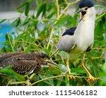 black crowned night heron ... | Shutterstock . vector #1115406182