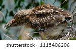 black crowned night heron ... | Shutterstock . vector #1115406206