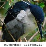 black crowned night heron ... | Shutterstock . vector #1115406212