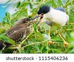 black crowned night heron ... | Shutterstock . vector #1115406236