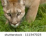 Stock photo puma stares intently before pouncing 111547025